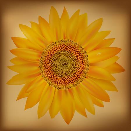 Sunflower, Isolated On White Background. Stock Vector - 10668818