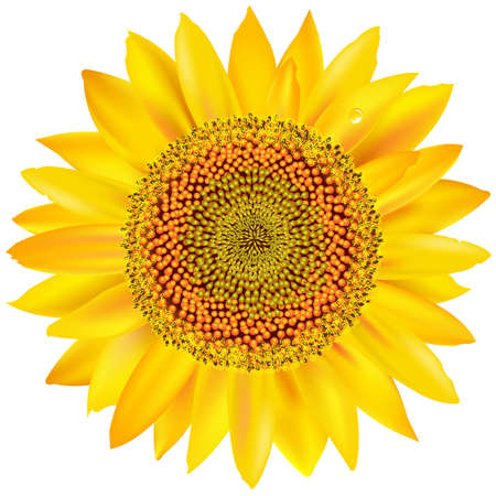 sunflower isolated: Girasol hermosa, aisladas sobre fondo blanco.