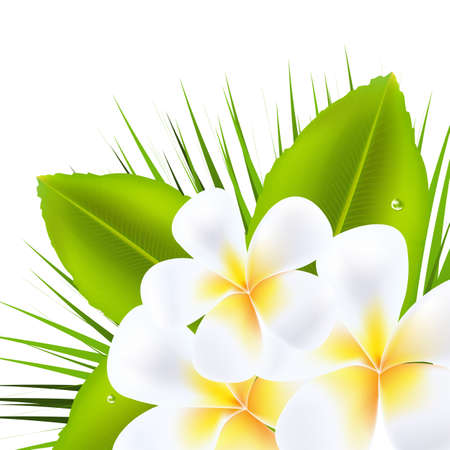 3 Beautiful Frangipani, Isolated On White Background, Vector Illustration  Vector