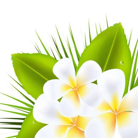 3 Frangipani hermosas, aislados en fondo blanco, ilustración vectorial