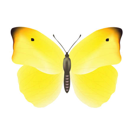 yellow butterfly: Yellow Butterfly, Isolated On White Background, Vector Illustration
