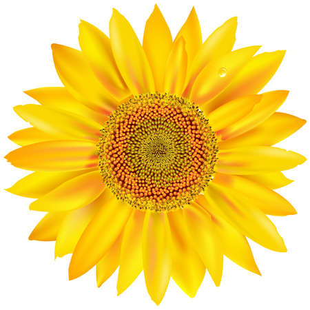 Gold Sunflower, Isolated On White Background Vector
