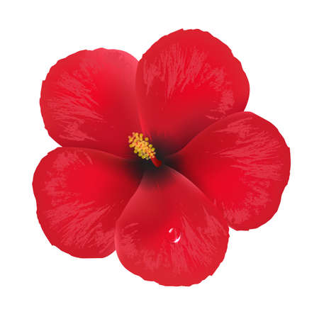 beautiful red hibiscus flower: Flor del hibisco, aisladas sobre fondo blanco