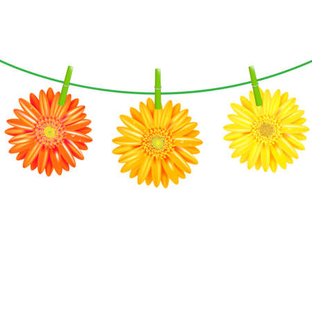 drying: 3 Gerbers Flowers With Clothespegs, Isolated On White Background, Vector Illustration Illustration