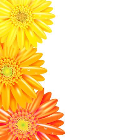 Geel En Oranje Gerbers Grens, Geà ¯ soleerd Op Witte Achtergrond, Vector Illustratie