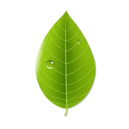 vegetate: Eco Green Leaf, With Gradient Mesh, Vector Illustration Illustration