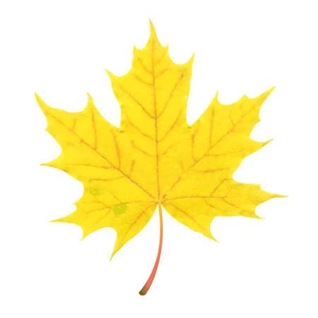 fall leaf: Autumn Leaf, Vector Illustration Illustration