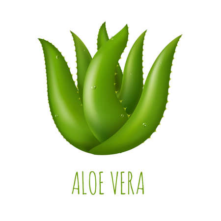 aloe vera plant: Aloe Vera With Gradient Mesh, Vector Illustration