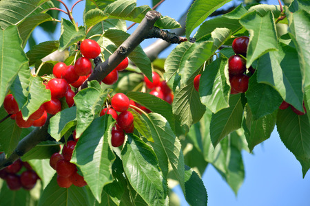 matures: Sour cherries on the branch Ripe Stock Photo
