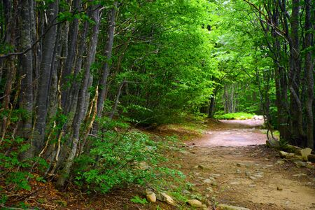 undergrowth: Footpath in beech forest Stock Photo