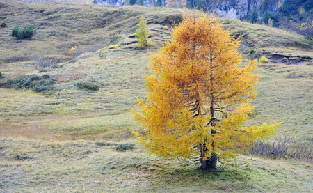 larch tree: lonely larch tree in autumn in the meadow