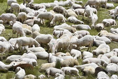 Herd of sheep grazing where several have been shorn from wool Stok Fotoğraf