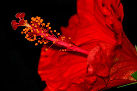 red hibiscus flower photo