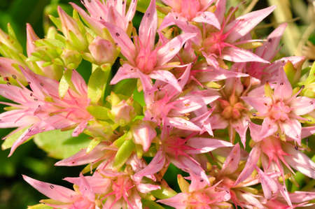 herbaceous  plant: Sedum spurium  rockcress   is a herbaceous plant with alternate, simple leaves, on creeping stems  The flowers are pink