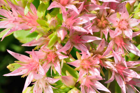 herbaceous  plant: Sedum spurium (rockcress)  is a herbaceous plant with alternate, simple leaves, on creeping stems. The flowers are pink . Stock Photo