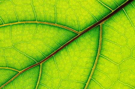 ficus: leaf of Ficus Lyrata