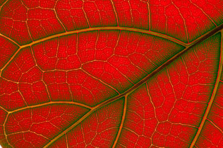 ficus: colored leaf of Ficus Lyrata