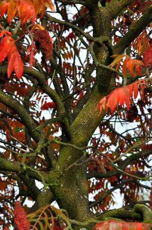 lemony: Sumac tree in autumn