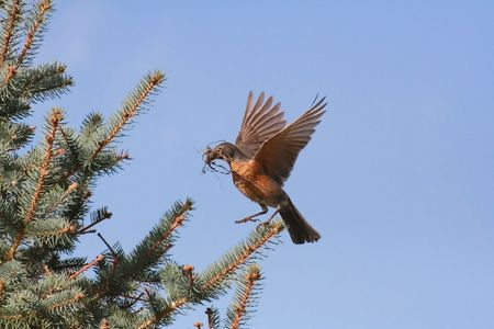 nesting: American robin (turdus migratorius) about to land at nesting site, carrying nesting materials in beak.
