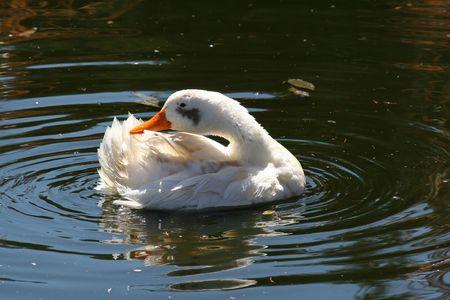 preening: Preening Duck Stock Photo