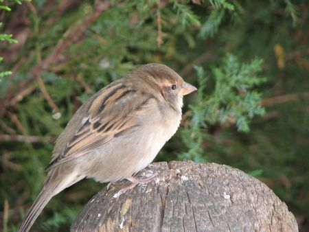fencepost: Wary sparrow, perched on fencepost. Stock Photo