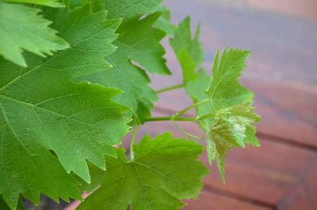 hojas vid: Hojas de vid