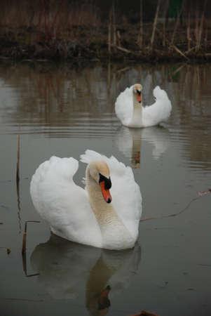2 Swans Swimming