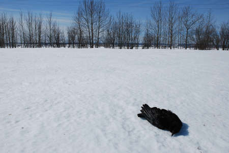 Dead Crow in the Snow