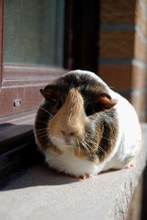 Guinea pig on Ledge