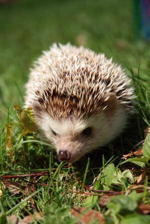 Hedgehog in grass Stockfoto