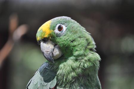 Yellow Crowned Amazon Bird