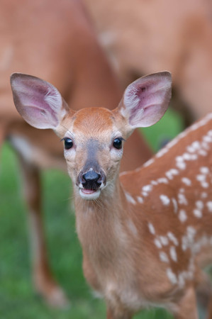 Whitetail Baby Deer Fawn Stock Photo