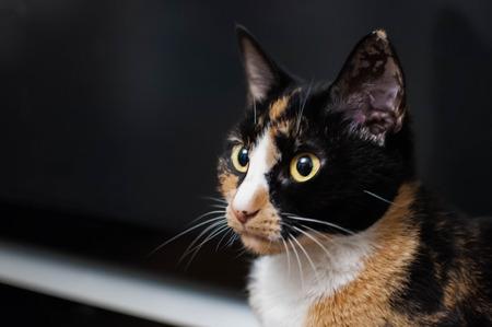 Calico Cat Portrait