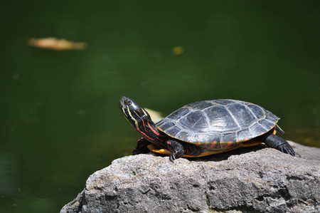 Colorful Box Turtle Sunning by a Lake Stock Photo