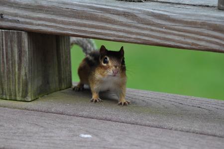 Chipmunk on my Porch