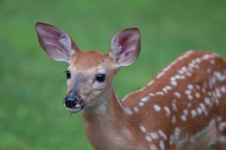 Whitetail Baby Deer Fawn Closeup Looking Away