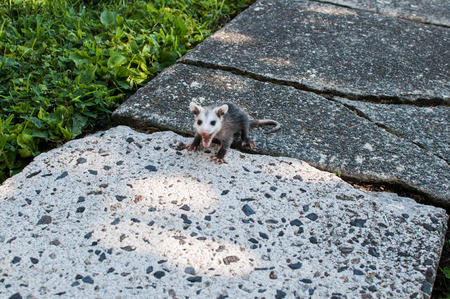 Angry Baby Opossum Hissing and Showing Teeth Stock Photo