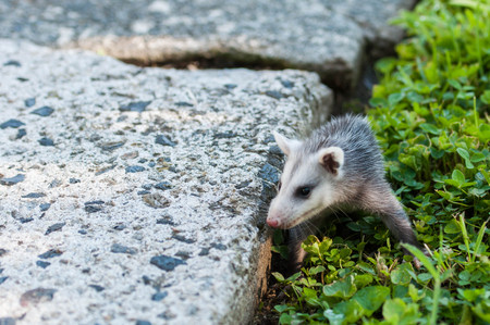 Young Baby Opossum