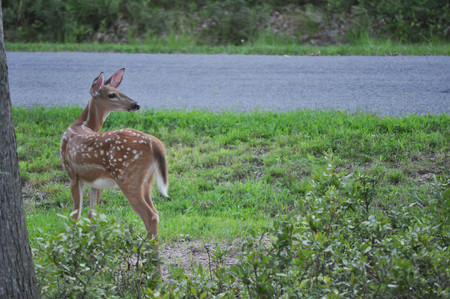 Whitetail Baby Deer Fawn by a Rural Road