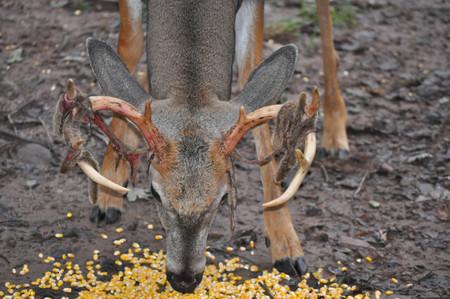 Whitetail Buck Deer Eating with Velvet Shedding Antlers