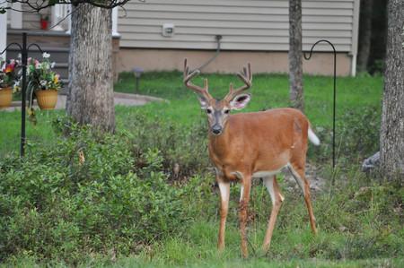 Whitetail Buck Deer with Velvet Covered Antlers