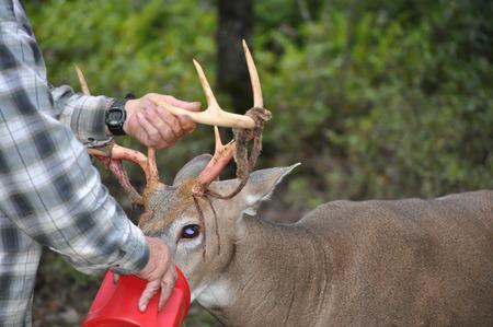 Man Holding a Whitetail Buck Deers Antlers Фото со стока