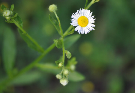 Small Daisy Flower Looks Like a Sad Frowning Face