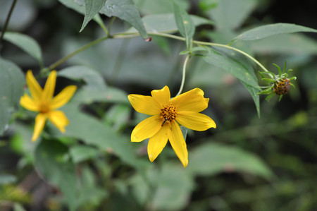 Yellow Coreopsis Flowers in Bloom