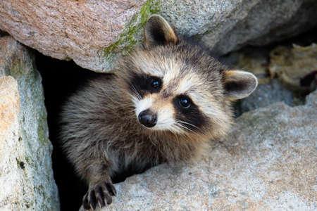 raccoon: curious raccoon