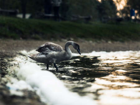 Young brown swan Stock fotó
