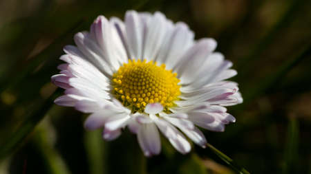 White daisies macro shot Stock fotó