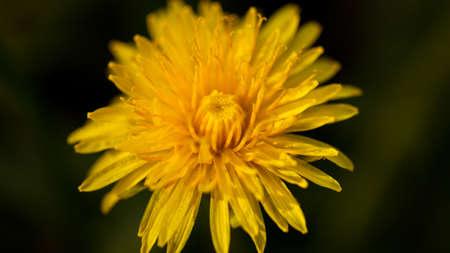 Dandelion yellow macro shot