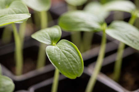 Growing cucumber seedlings In the greenhouse