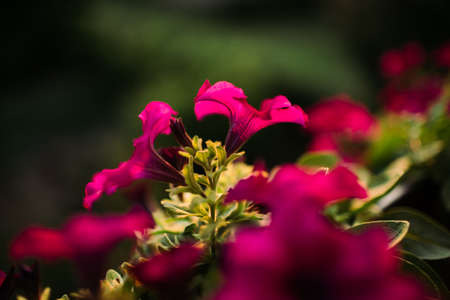 Cluster of pink and purple petunias
